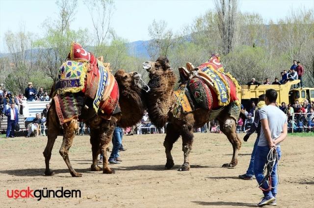 Uşak'ın Sivaslı ilçesi Selçikler beldesinde Ege, Akdeniz ve Marmara bölgelerinden getirilen 40 deve güreşti. Cıngıl Çayırı Güreş Arenası'nda bu yıl ilk kez gerçekleştirilen etkinliği çok sayıda vatandaş izledi. Organizasyonda develerin kıyasıya mücadelesi renkli görüntülere sahne oldu.