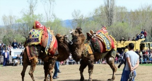 Uşak'ta deve güreşi heyecanı